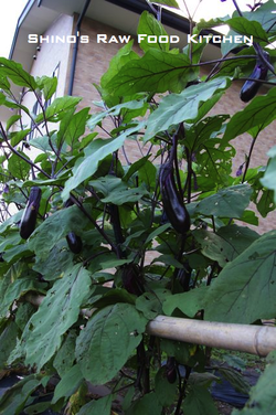 Eggplantsinminakami2